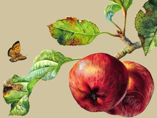 apple-painting-by-talitha-brauchli